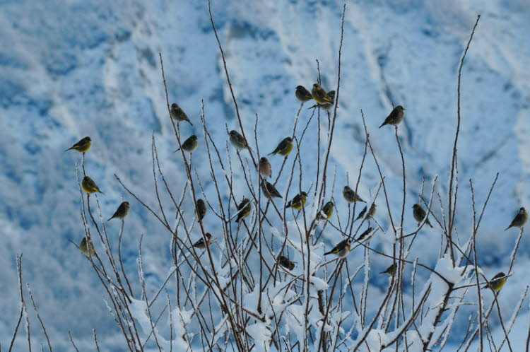 ...more Finches